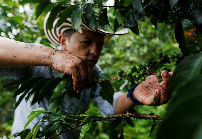 A Columbia coffee grower picks coffee fruits at a plantation in Pueblorrico, Columbia March 11, 2019. Photo by Reuters/Luisa Gonzales.