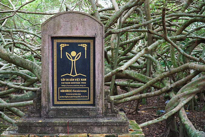 The ancient tree is also the first Vietnamese Heritage Tree in the Mekong Delta region. Under its canopy, there used to be revolutionary bases against the French colonial regime and American soldiers in the previous centuries. Gian Gua was recognized as a city relic in 2013 by Can Tho City.