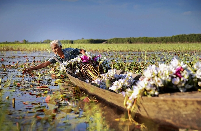 An old woman rows into a flooded field in Kien Tuong Commune to harvest water lilies. The flowers, which blossom during the rainy season, are used for decoration and to make tea. Their stalks are edible and can be eaten raw with fermented paste or braised sauce, or dunked into sour soup and hotpot.At this time of the year its a common sight to see farmers busily harvesting the flowers.
