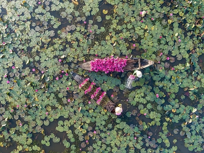 Water lilies are wild plants and do not need planting or caring.During the rainy season, when the canals and rice fields overflow, white and pink water-lilies are in full bloom.