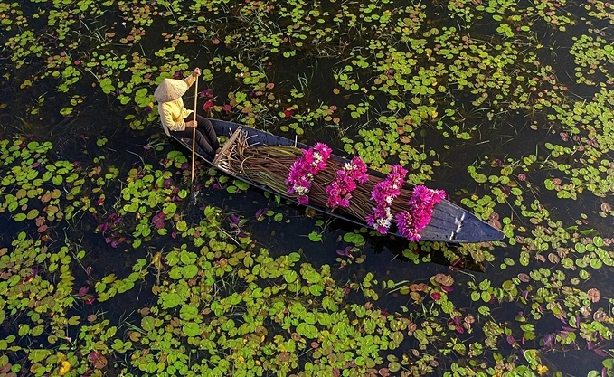 After the water lilies are cleaned of mud and tied into bundles, they are loaded on boats to be delivered to markets and restaurants.A woman carries a bamboo shoulder polewith water lilies to a market.