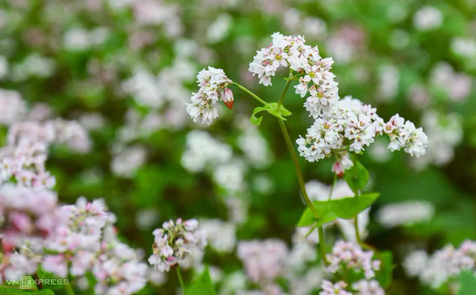 Buckwheat flowers are best seen from mid October to late November. In this time period, it constantly changes colors, going from white as a young flower, to pastel pink and then to dark burgundy by the end of its season.Villagers collect and cook white young buckwheat for daily meals; its seeds are used for making the Dong Van plateau's specialties like pies and liquor.