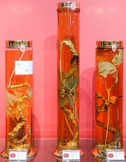 The museum collection comprises three ginseng tubers aged over 50 years. The middle one is the oldest, aged 65l.
