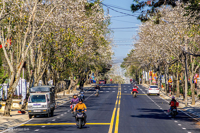Bauhinia flowers cast a white carpet along both sides of Quang Trung Street in the heart of Da Lat which has gained popularity both as a romantic place for honeymoon couples and an oasis in a country that usually sweats all year round.