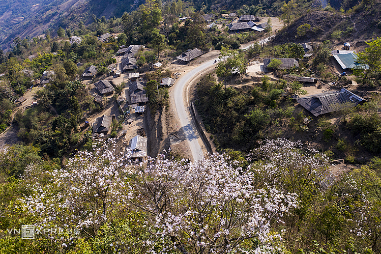 VZN News: White Bauhinia flowers is a signature of northern mountainous provinces, often blossoming in early March.Driving along the national highway leading to Tia Mong village in Dien Bien Province at this time, one can see white Bauhinia flowers bloom under the scorching sunlight.