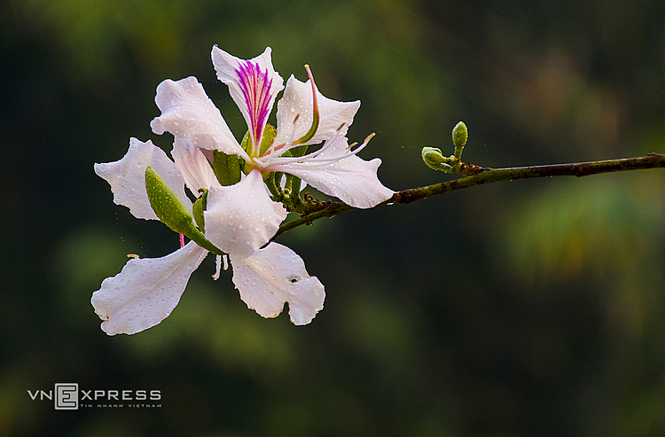 VZN News: Bauhinia flowers do not have a strong flavor but each flower has 4-5 petals.