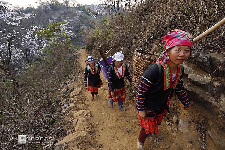 VZN News: HMong women walk on narrow and dangerous mountainous roads surrounded by Bauhinia flowers to go to their fields. Dien Bien Province, around 500 kilometers to the west of Hanoi, is still a lesser-known destination on Vietnam's tourism map.Dien Bien is home to the Dien Bien Phu battle which raged for 56 days before Vietnams victory that would spell the end of Frances colonial rule in Indochina and pave the way for Vietnams independence.