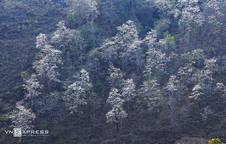 VZN News: The flowers are hidden in fog of the last days of winter in the northwest mountainous province. The districts such as Dien Bien Dong, Muong Cha, Tuan Giao, Tua Chua are where to admire blooming Bauhinia flowers.