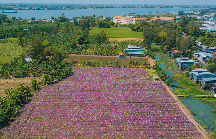 VZN News: Fields of periwinkle blossoms, adjacent to rice paddies in Phu Tan District, are its beautiful time of the year, attracting curious visitors and photographers.The flower field is located near Hau River, a branch of the Mekong River. Water to irrigate for the field is taken from a canal behind nearby residential area.