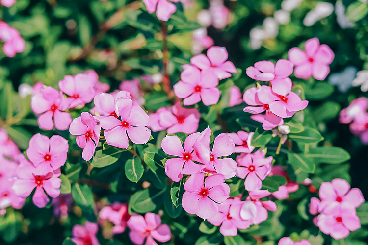 VZN News: Residents often sow periwinkle in lunar November and harvest in April next year. The harvesting of plants, leaves and roots for processing of herbal medicines takes place before the rainy season around the end of April to the end of October each year.