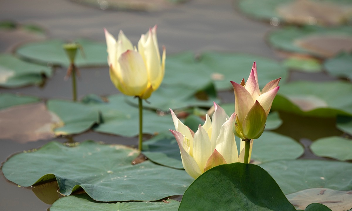 Another lotus species with pink and yellow shades are blooming.
