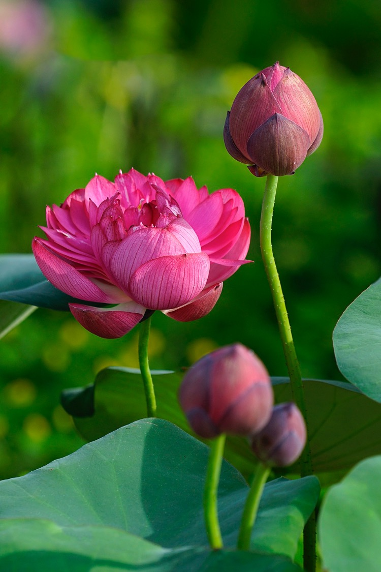 Pearly pink lotus flowers under the sun. Lotus season normally starts in late May and is over in early September, depending on the regions. However, the flowers are the most beautiful in June and especially September, when fall knocks on the door.