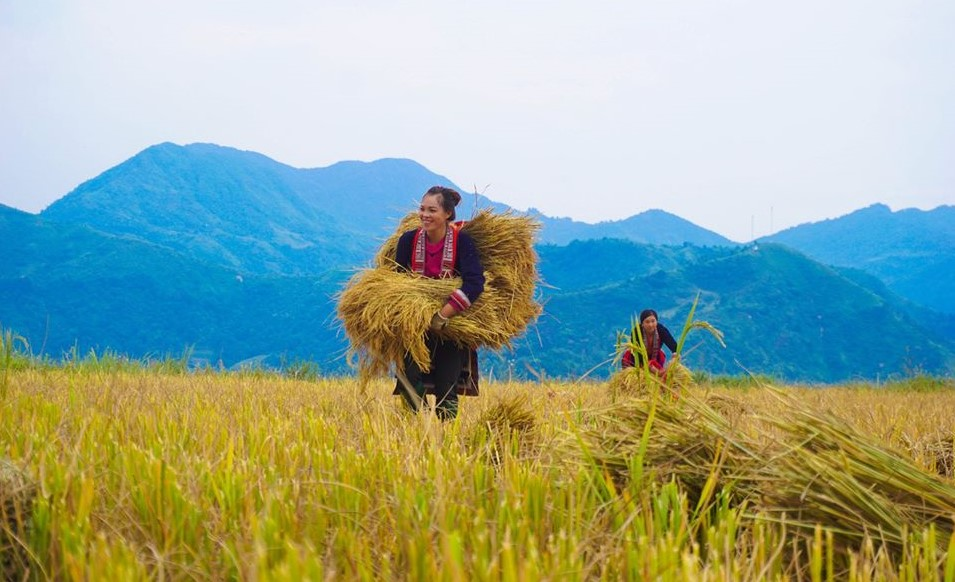 Farmers bring rice crops to the communal shanty. Photo by Xu Kien.