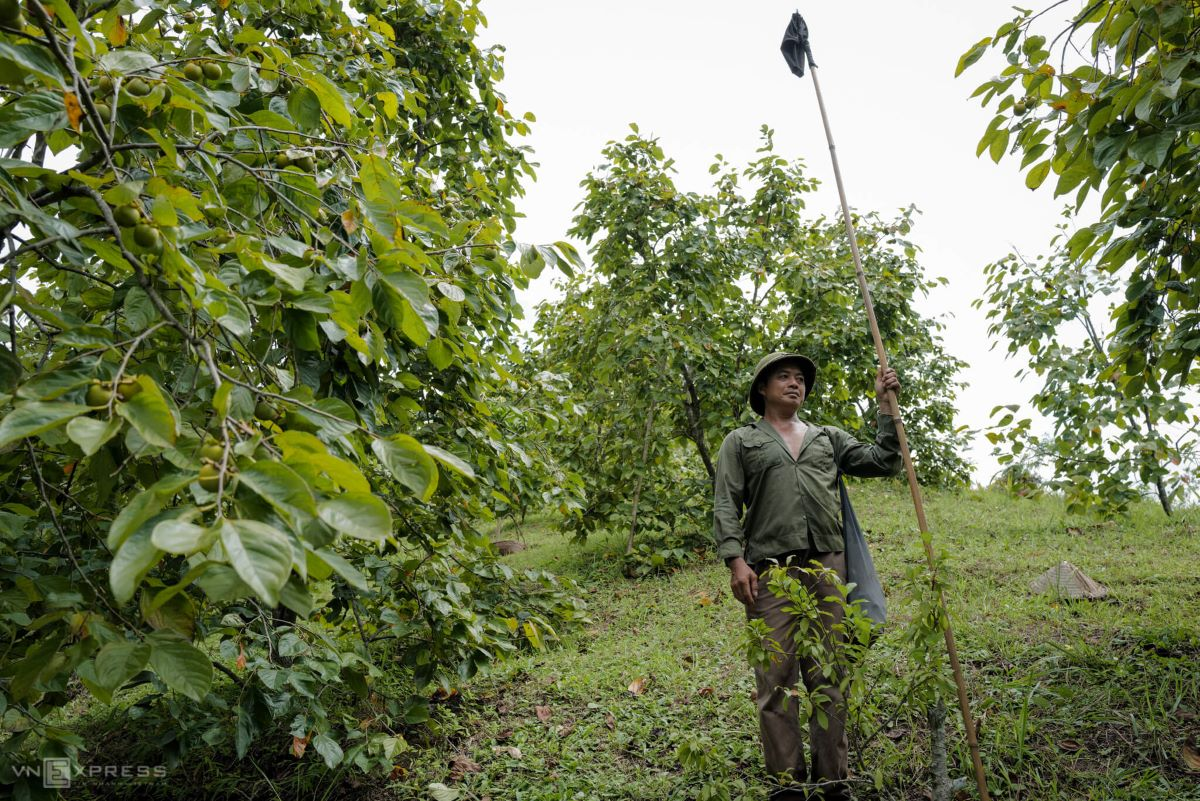 Lang Van Chin of Na Puc Hamlet, Hoang Van Thu Commune, uses a long bamboo stick with a cloth bag at one end to harvest the persimmons.