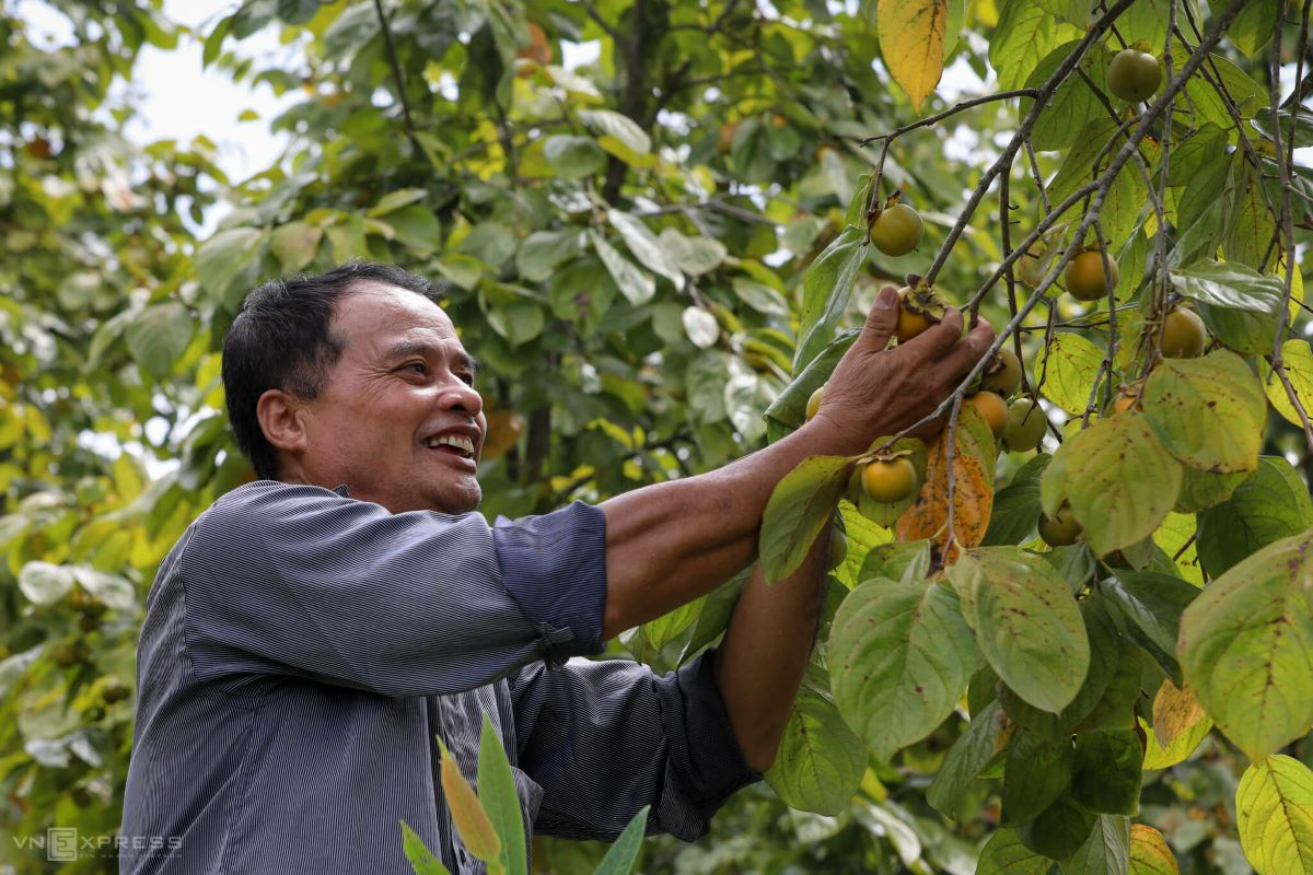 Lang Van Vang smiles as he plucks low hanging fruit from his persimmon farm in Po Cai Hamlet, Tan My Commune.   My family has 3ha with about 1000 trees, many around 20 years old. This year's harvest is quite high, reaching nearly 15 tons. We are selling the fruits for VND15,000 - $0.65 per kilogram, Vang said.
