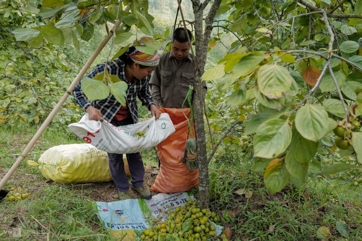 Harvesting takes a lot of time, so usually gather the fruits by some tree stumps to take a break before taking them down to sell. In four hours, my partner and I were able harvest around 50 kg, said Hoang Van Minh, a resident of Thong Nhat Hamlet.
