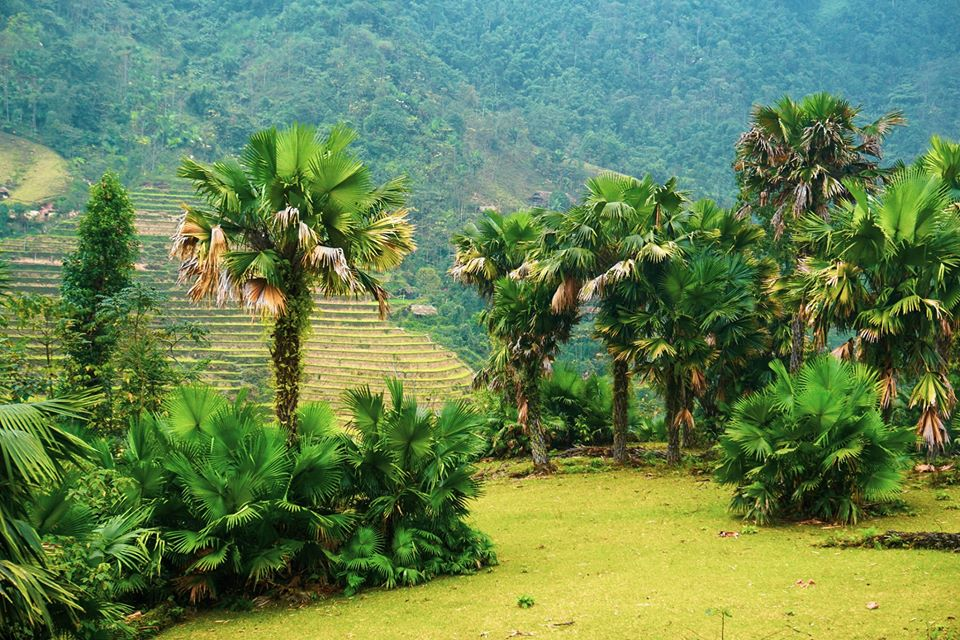 Palm trees in Na Rang. Photo by Xu Kien.