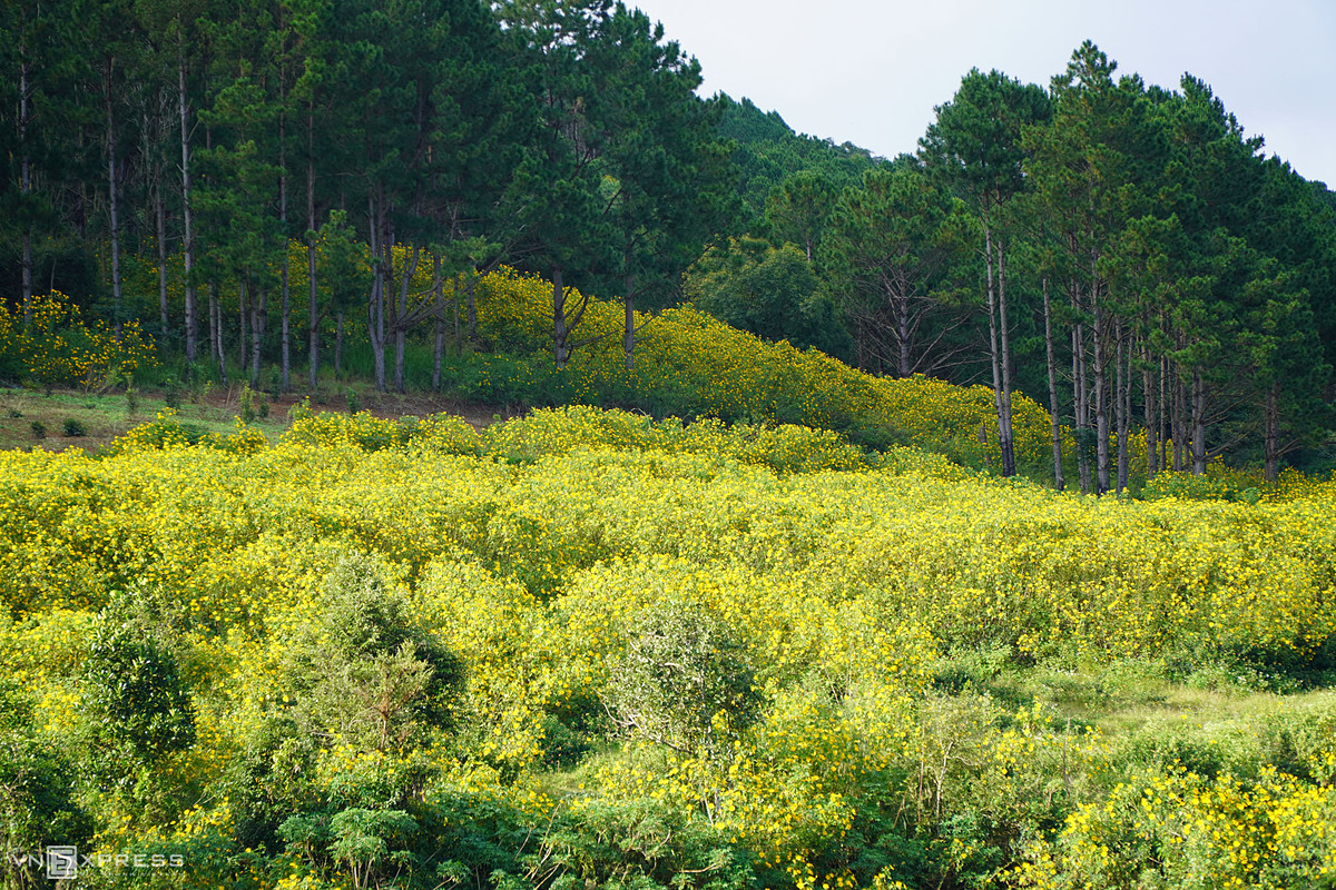 At this time of the year, streets in Dran are covered with the yellow color of wild sunflowers,