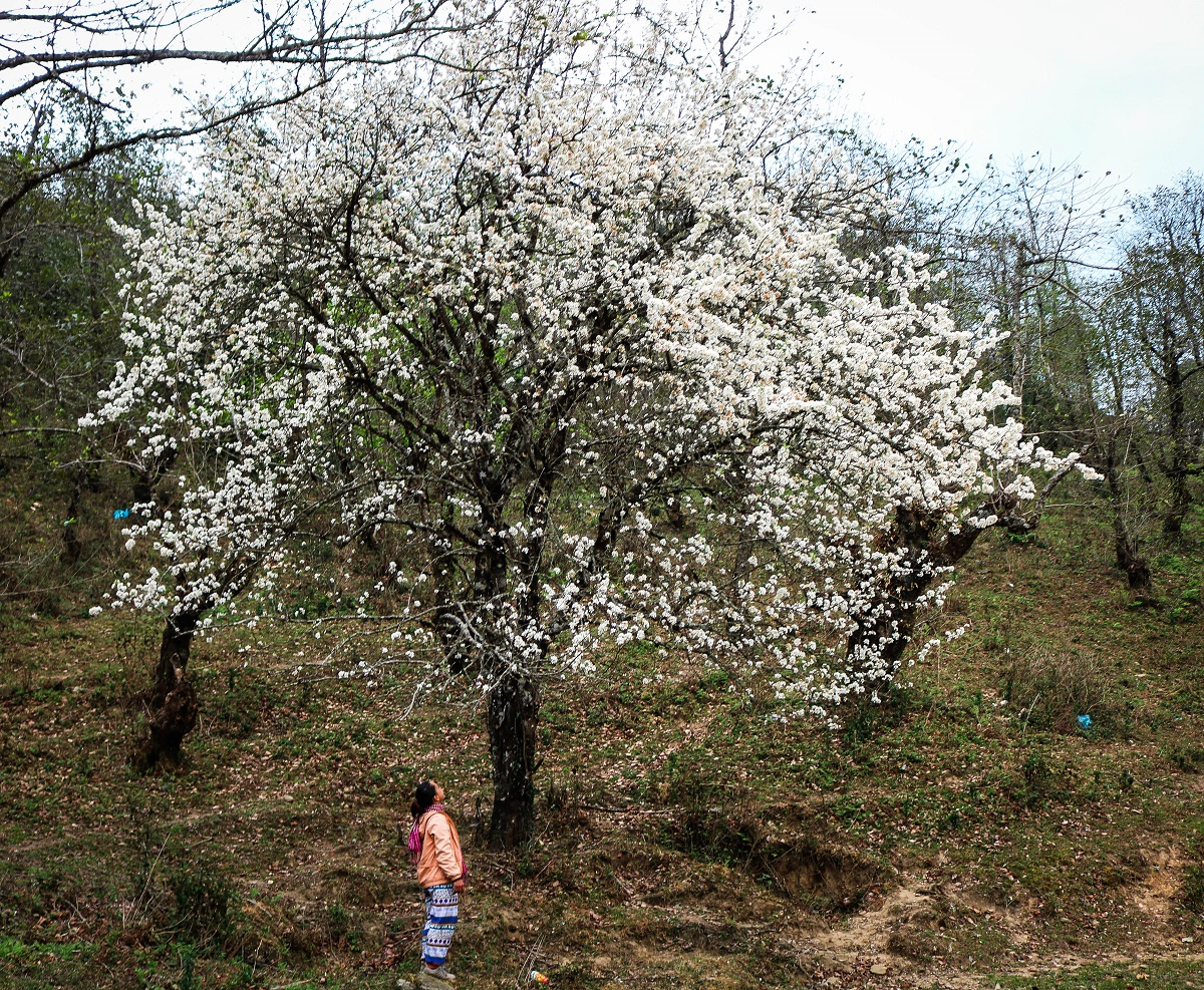Blooming white docynia indica trees on the way to Lao Than peak. Photo by Nguyen Thanh Truong.