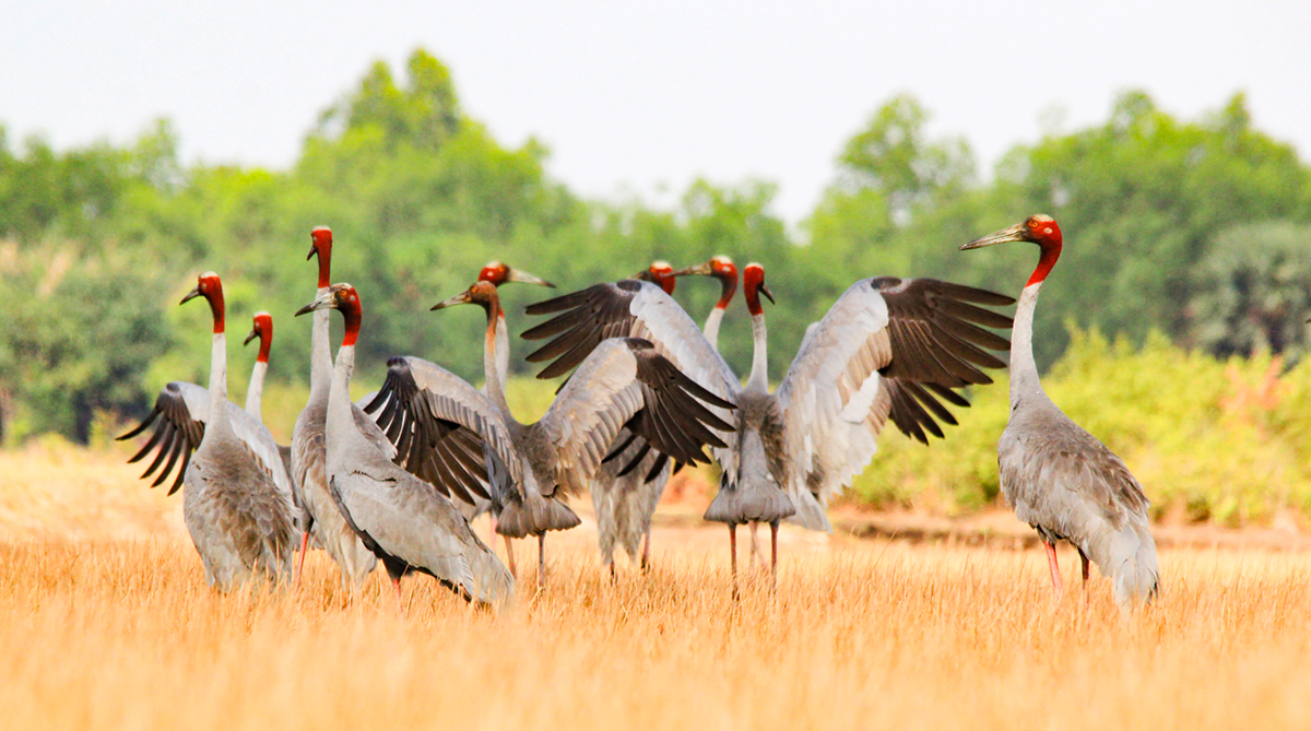 Red-crowned cranes at the Anlung Pring Sarus Crane Sanctuary, Cambodia in 2015. Photo by Nguyen Cong Toai