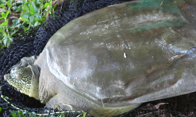 More critically endangered Red River turtles discovered in Hanoi