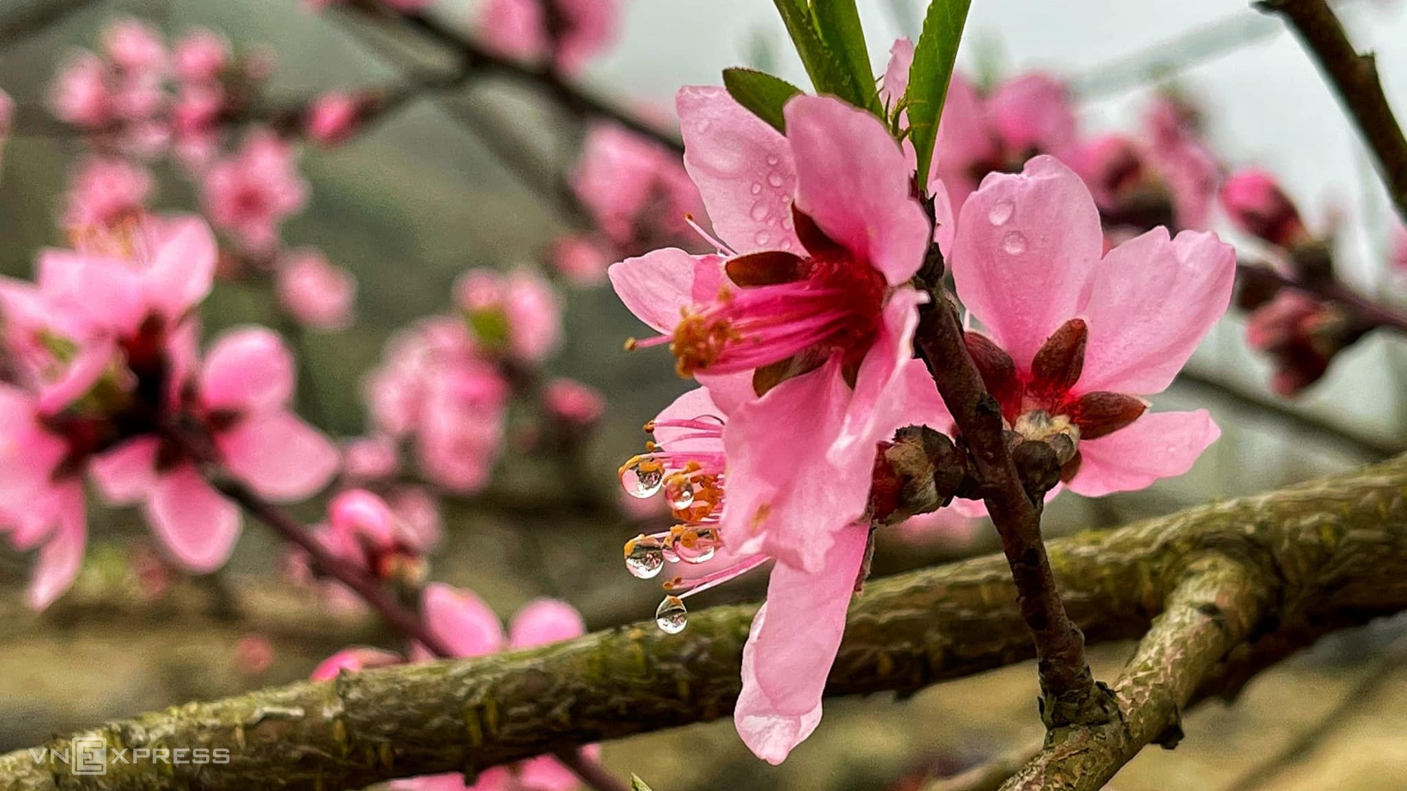 Watch spring flowers bloom in northern H'mong villages