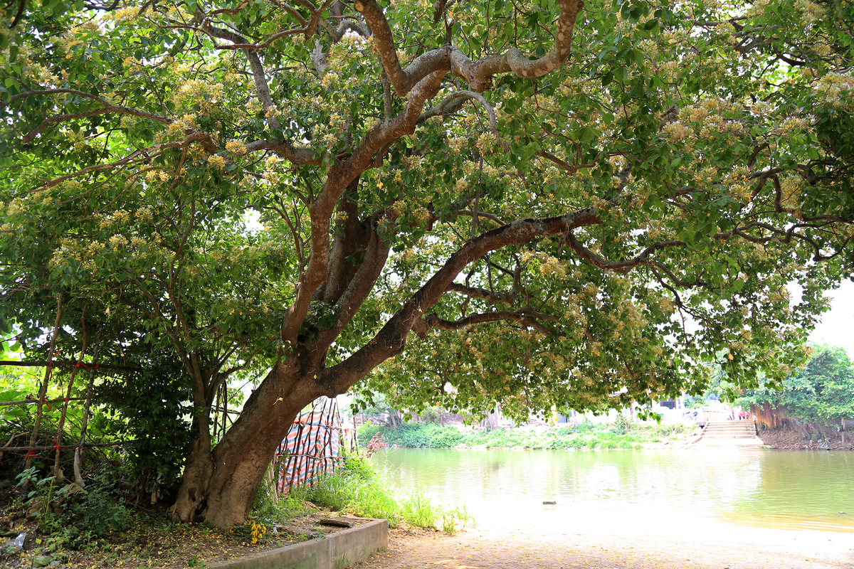 Caper flower season hits Quang Binh