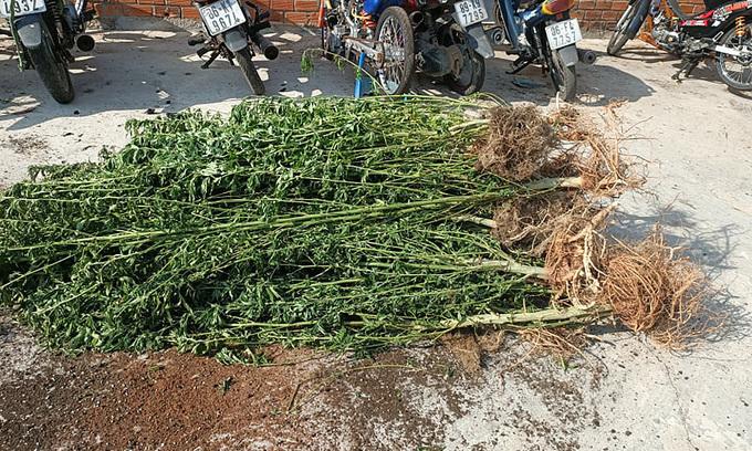 Canadian grows 'medicinal' cannabis in Binh Thuan