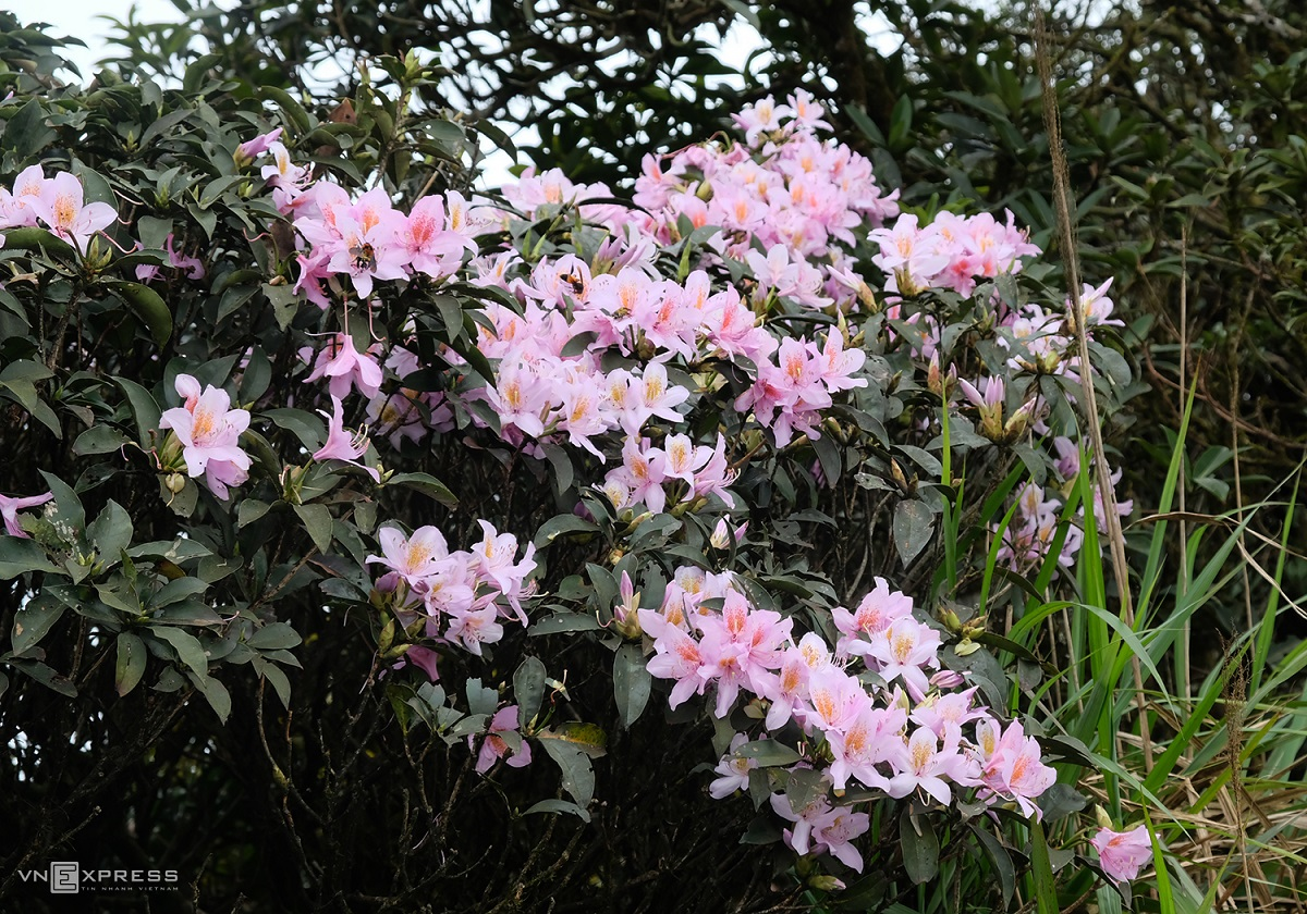Trekking Phia Po peak in April, visitors can also catch some wild forest flowers blooming along the way such as pink Azalea, bell-shaped peach, orchids and many others.